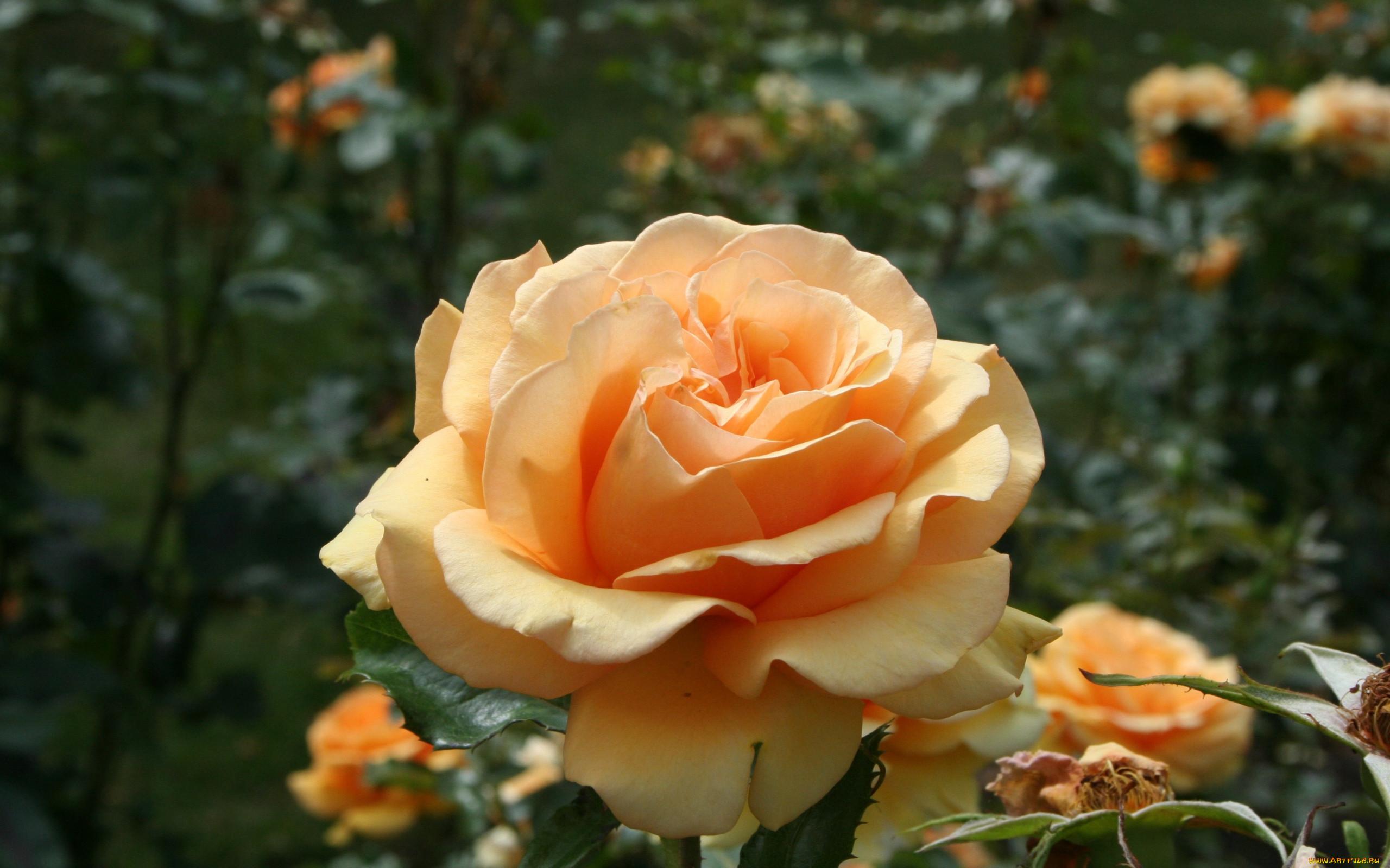 магическая фото чайных роз в хорошем качестве жёлтое пальто